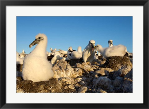 Framed Shy Albatross chick and colony, Bass Strait, Tasmania, Australia Print