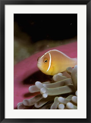 Framed Australia, Great Barrier Reef Anemonefish Print