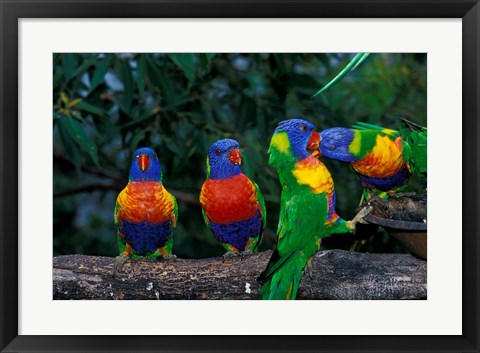 Framed Australia, East Coast,  Lorikeets birds in a row Print