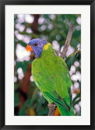 Framed Australia, East Coast Rainbow Lorikeets bird (back view) Print