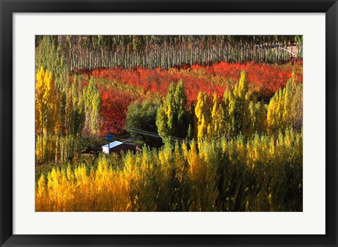 Framed Autumn Colours, Bannockburn, Central Otago, New Zealand Print