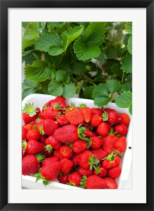 Framed Hedgerow Hydroponics, strawberry farm, Marlborough, South Island, New Zealand Print