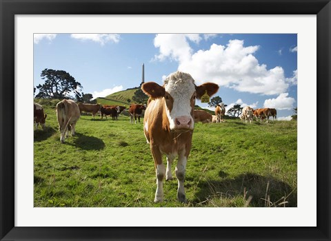 Framed Cows And Obelisk, One Tree Hill Domain, Auckland, North Island, New Zealand Print