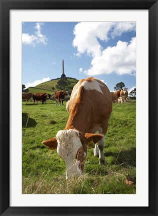 Framed Cows, Farm animal, Auckland, North Island, New Zealand Print