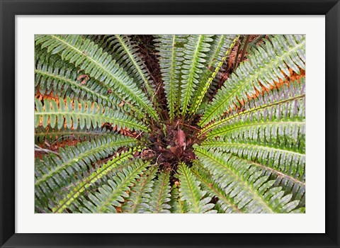 Framed Crown Fern, Puipui, West Coast, South Island, New Zealand Print