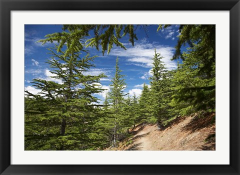 Framed Larch Forest by Lake Benmore, Waitaki Valley, North Otago, South Island, New Zealand Print
