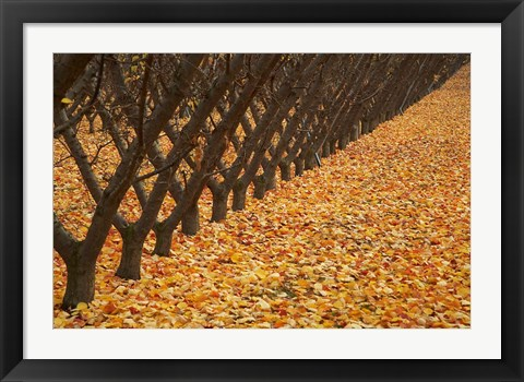 Framed Orchard, Cromwell, Central Otago, South Island, New Zealand Print