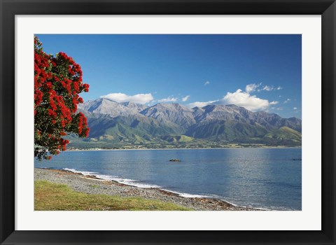 Framed Pohutukawa Tree, Marlborough, South Island, New Zealand Print