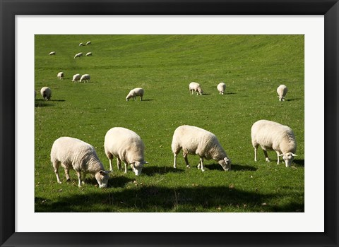 Framed Sheep, One Tree Hill Domain, Auckland, North Island, New Zealand Print