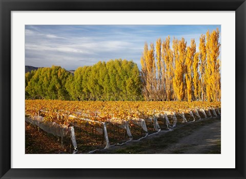 Framed Silver Tussock Vineyard, Central Otago, South Island, New Zealand Print