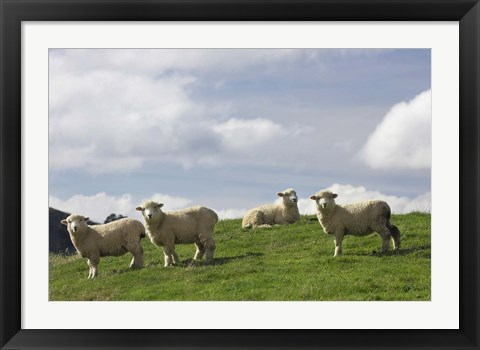 Framed Sheep And Farmland, Rangitikei District, Central North Island, New Zealand Print