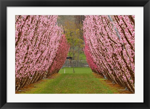 Framed Orchard in Spring, Cromwell, Central Otago, South Island, New Zealand Print