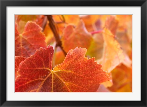 Framed Vine leaves, Domain Road Vineyard, South Island, New Zealand Print