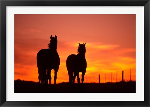 Framed Horses at Sunset near Ranfurly, Maniototo, Central Otago Print