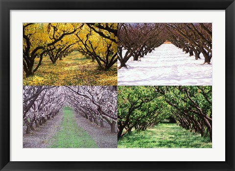 Framed Orchard through the Seasons, Central Otago, South Island, New Zealand Print