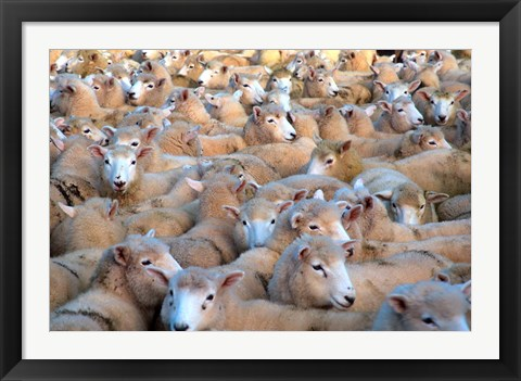 Framed Mob of Sheep in Yard Print