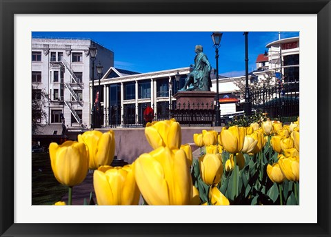 Framed Yellow tulips, Octagon, Dunedin, New Zealand Print