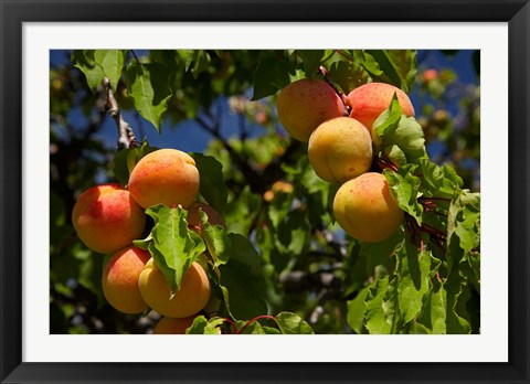 Framed Agriculture, Apricot orchard, South Island, New Zealand Print
