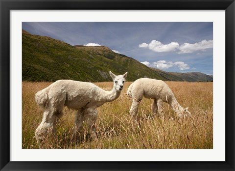 Framed Alpacas by Gibbston River Trail, Gibbston Valley, Southern Lakes District, South Island, New Zealand Print