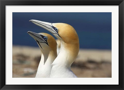 Framed Australasian Gannet tropical bird, Hawkes Bay New Zealand Print