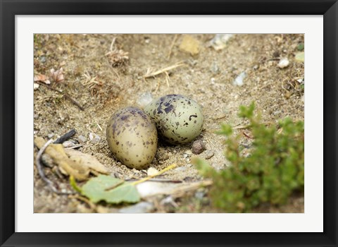 Framed Black-Fronted Tern eggs, South Island, New Zealand Print