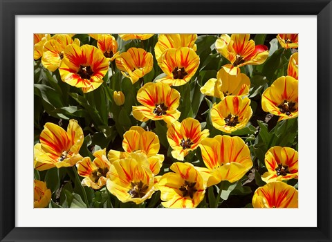 Framed Close up of Tulips, West Otago, South Island, New Zealand Print