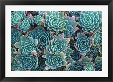 Framed Echeveria Elegans Succulents, New Zealand Print