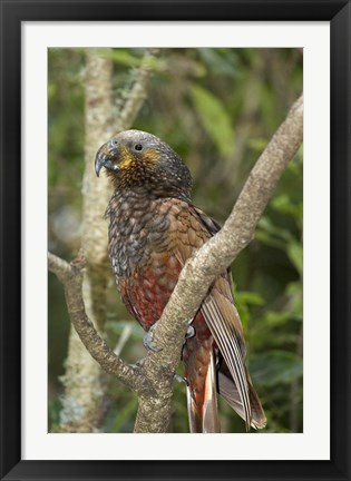 Framed Kaka, Tropical Bird, Pukaha Mount Bruce, New Zealand Print