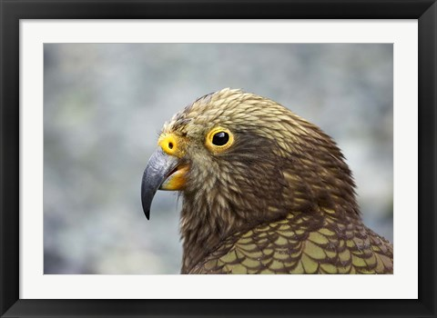 Framed Kea, Alpine Parrot, Tropical Bird, New Zealand Print