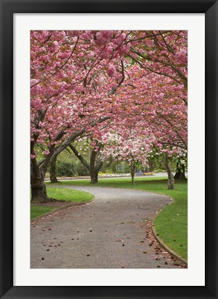 Framed Path in Spring Blossom, Ashburton Domain, New Zealand Print