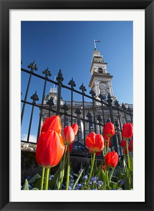 Framed Red Tulips & Municipal Chambers Clock Tower, Octagon, South Island, New Zealand Print