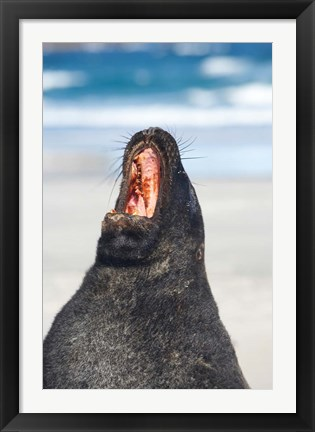 Framed Sea Lion, Sandfly Bay, Otago, South Island, New Zealand Print