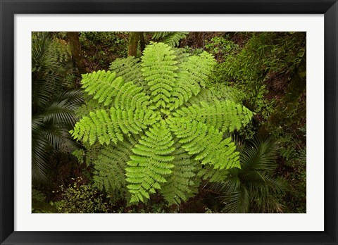 Framed Tree fern, AH Reed Memorial Kauri Park, New Zealand Print