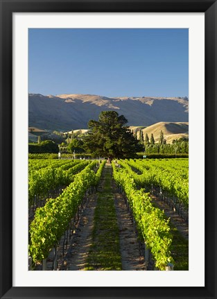 Framed Wooing Tree Vineyard, Cromwell, Central Otago, South Island, New Zealand Print