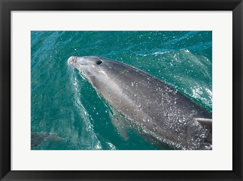 Framed New Zealand, South Island, Marlborough Sounds, Dolphin Print
