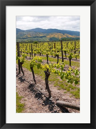 Framed New Zealand, Wairau Rivery Winery vineyard Print