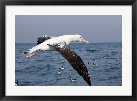 Framed Gibson's Albatross, Kaikoura, Marlborough, South Island, New Zealand Print
