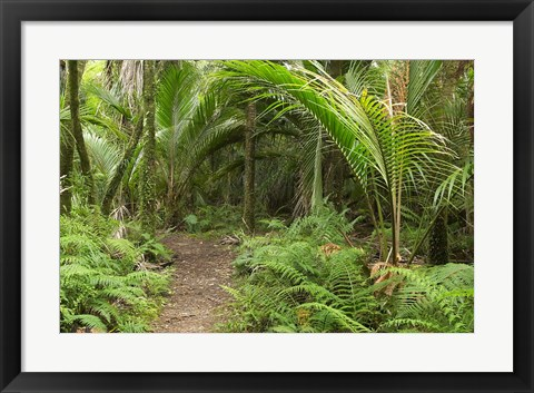 Framed New Zealand, Nikau Palms, Heaphy Path Print