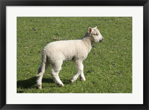 Framed Spring lamb, Dunedin, Otago, South Island, New Zealand Print