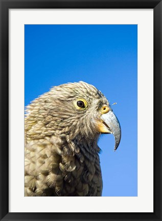 Framed Close up of Kea Bird, Arthurs Pass NP, South Island, New Zealand Print