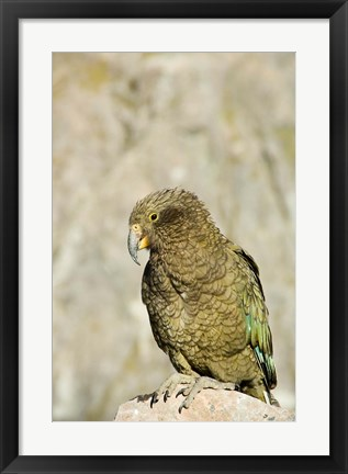 Framed New Zealand, South Island, Arthurs Pass NP, Kea Print