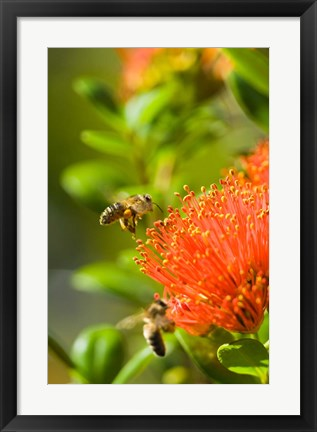 Framed New Zealand, South Island, Bee on Rata flower Print
