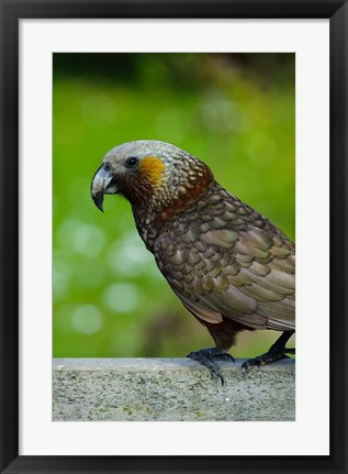 Framed New Zealand, Stewart Island, Halfmoon Bay Kaka bird Print
