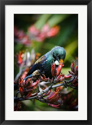 Framed Tui bird, New Zealand Print
