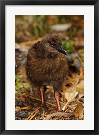 Framed New Zealand, Stewart Island, Ulva Island, Weka bird Print