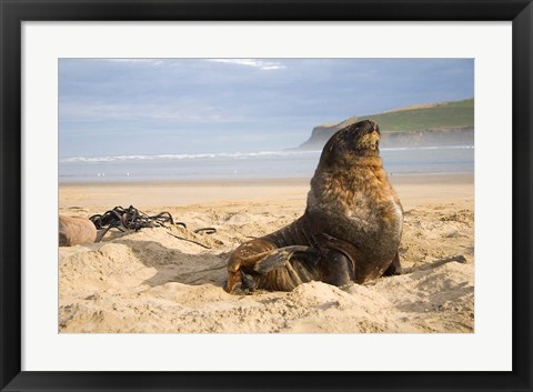 Framed Sea lions on beach, Catlins, New Zealand Print