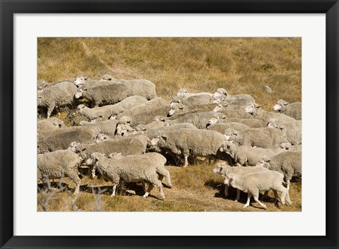 Framed Farm animals, Sheep herd, South Island, New Zealand Print