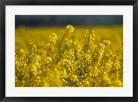 Framed Rapeseed Agriculture, South Canterbury, New Zealand Print
