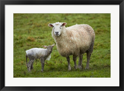 Framed Sheep and lamb, Taieri Plains, Otago, New Zealand Print