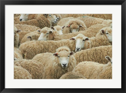 Framed Sheep, Catlins, South Otago, South Island, New Zealand Print